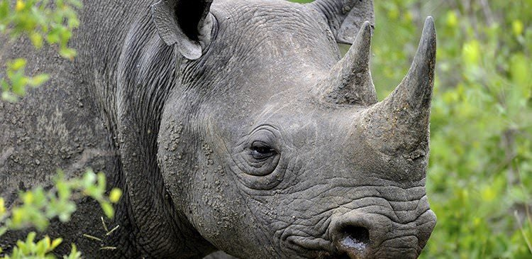 African Black Rhino: Some Eye-Opening Facts (Infographic)