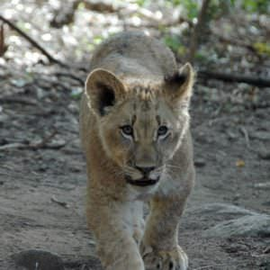 Lion cub on the way to breakfast