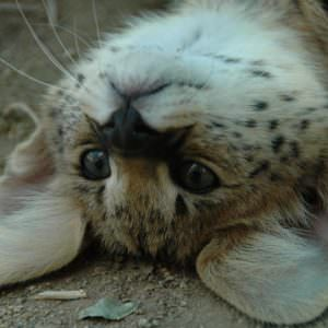 Zoro the Serval being cute