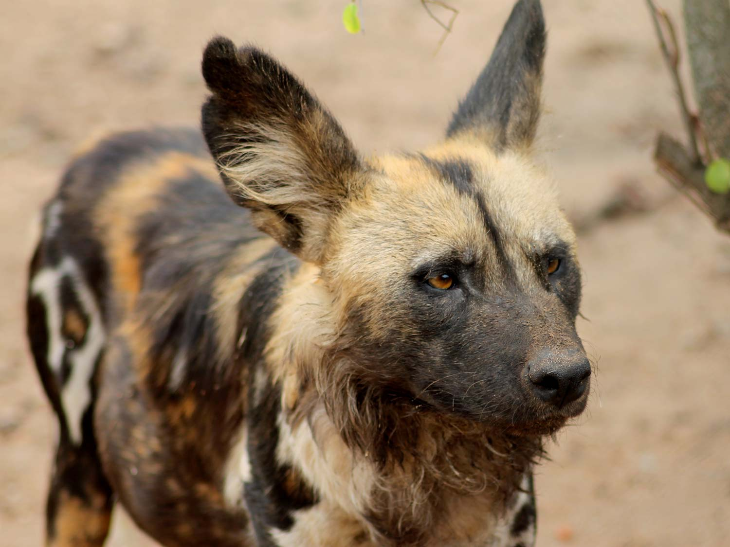 Close up of an African Wild Dog or Painted Wolf