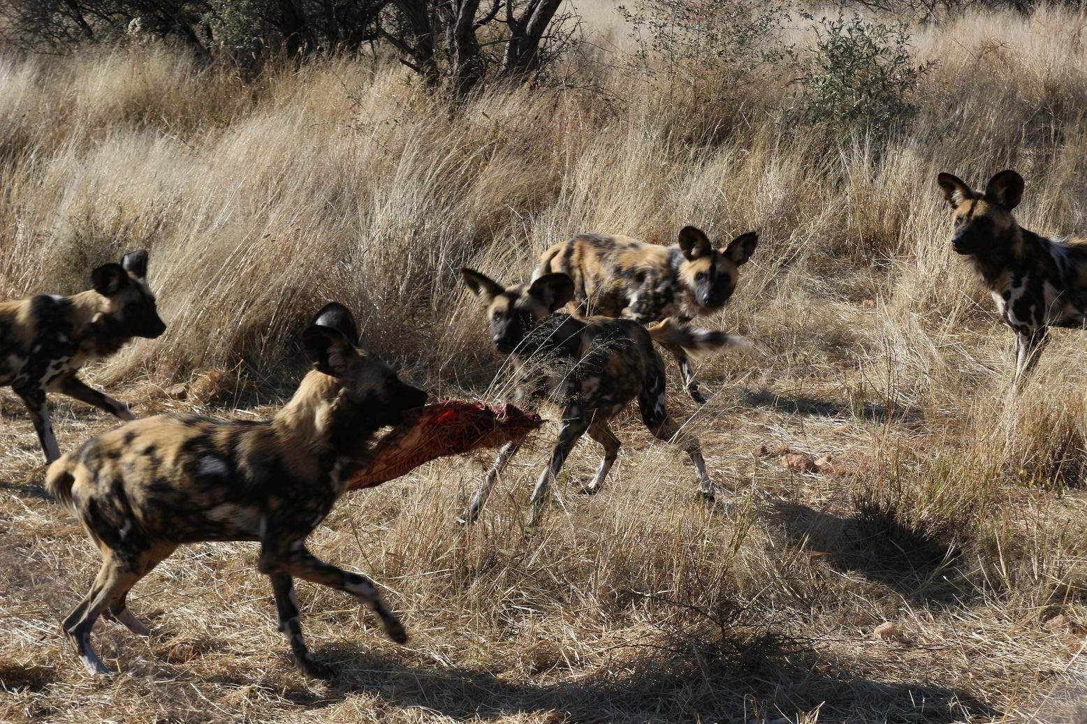 A pack of African Wild Dogs. One of the dogs has a carcass