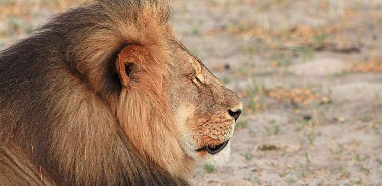 The Legacy of Cecil the Lion