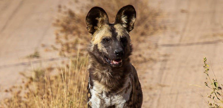 The Endangered Painted Wild Dog