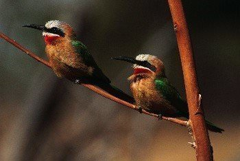 A pair of white fronted bee eater by Robert Staritz