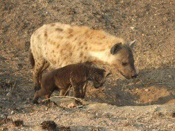Hyena and cub by Kate Morris