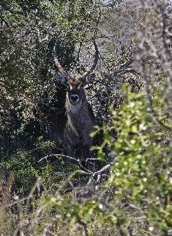 Waterbuck by Alice Latham