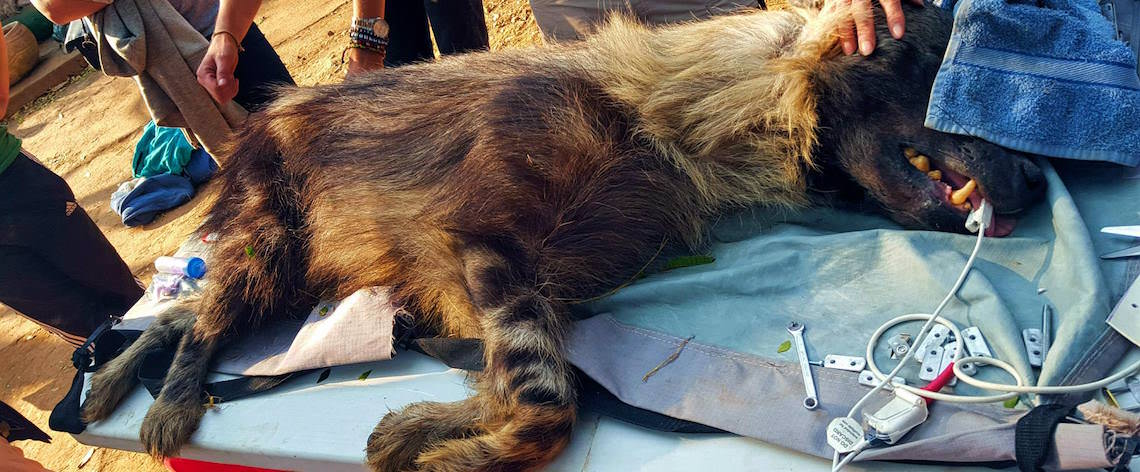 Veterinary treatment for hyena
