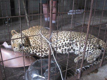 Leopard immobilised for relocation