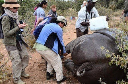 Keeping rhino cool during anaesthesia