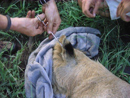 Veterinary clipping of lion ear