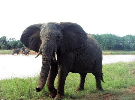 Phinda elephant checking out the vehicle
