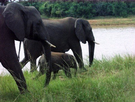 Elephant cows protecting their young