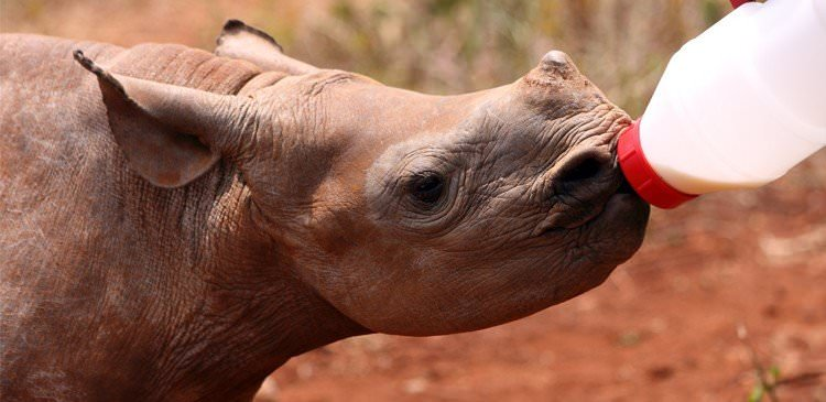 Scientific study of rehabilitation prospects for orphaned rhino at Care for Wild Africa