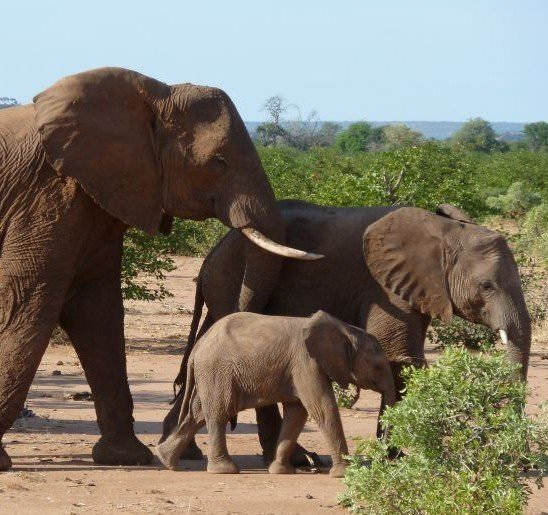 A family of elephants wandering through the African bush in the Okavango region