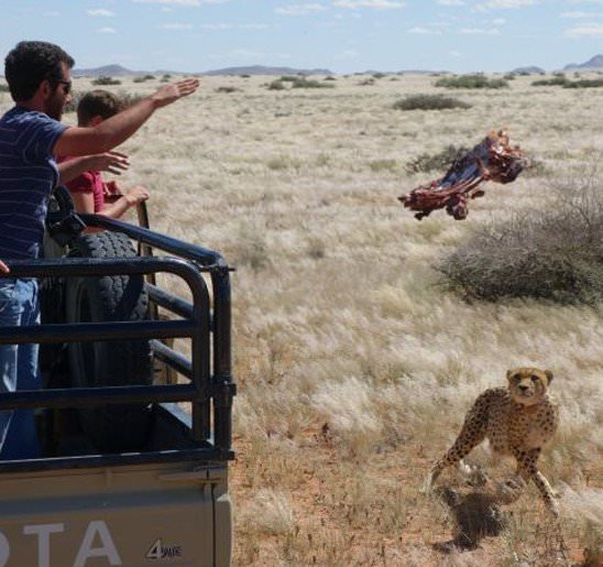 Work with Cheetahs in South Africa