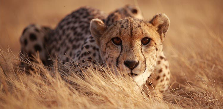 Lightning Fast Facts About Cheetahs – Catch Them While You Can
