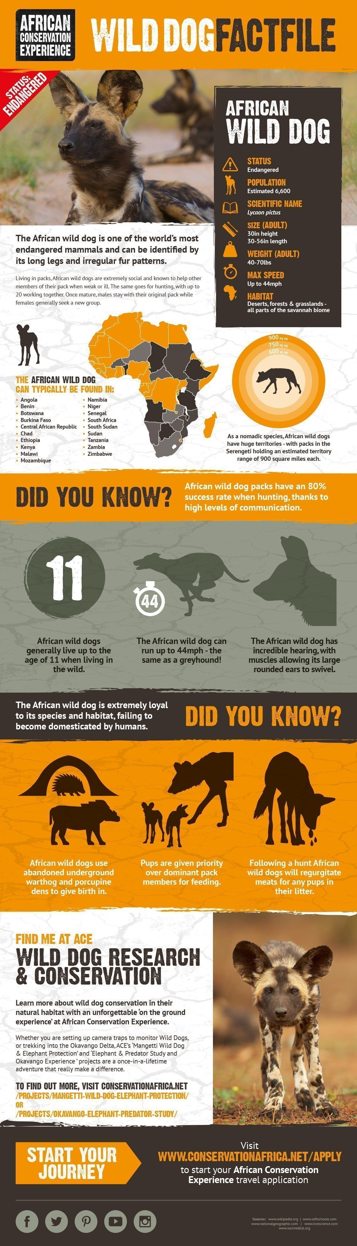 African wild dog facts infographic