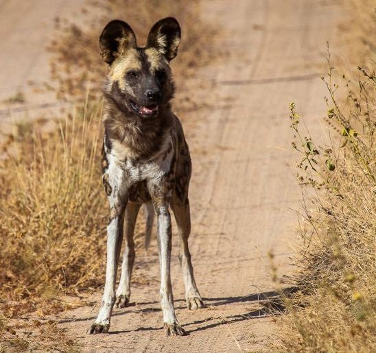 Volunteer with African wild dogs