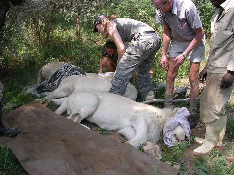 Work with Lion Conservationists | Conservation Travel