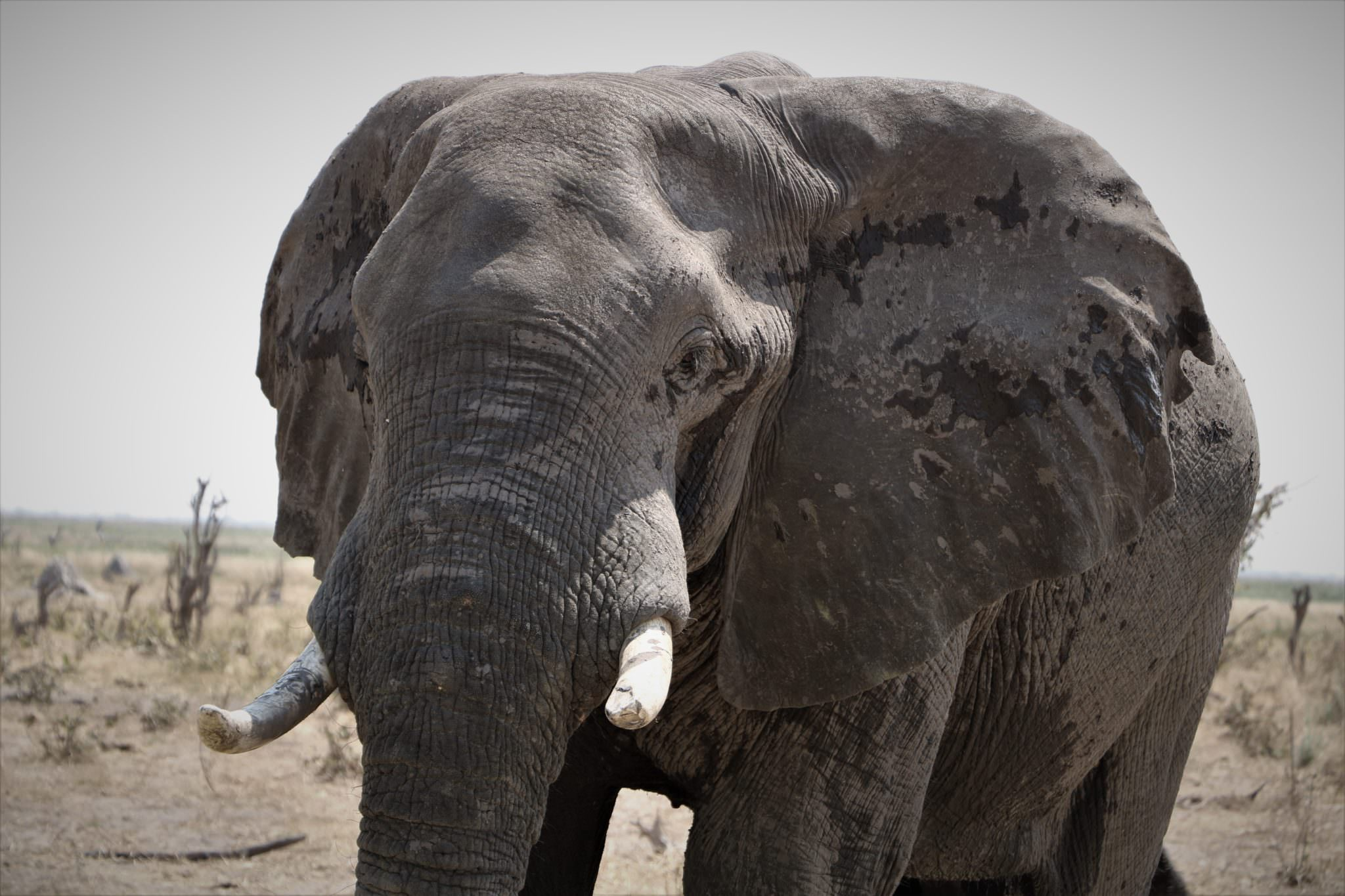 An African elephant bull facing the camera