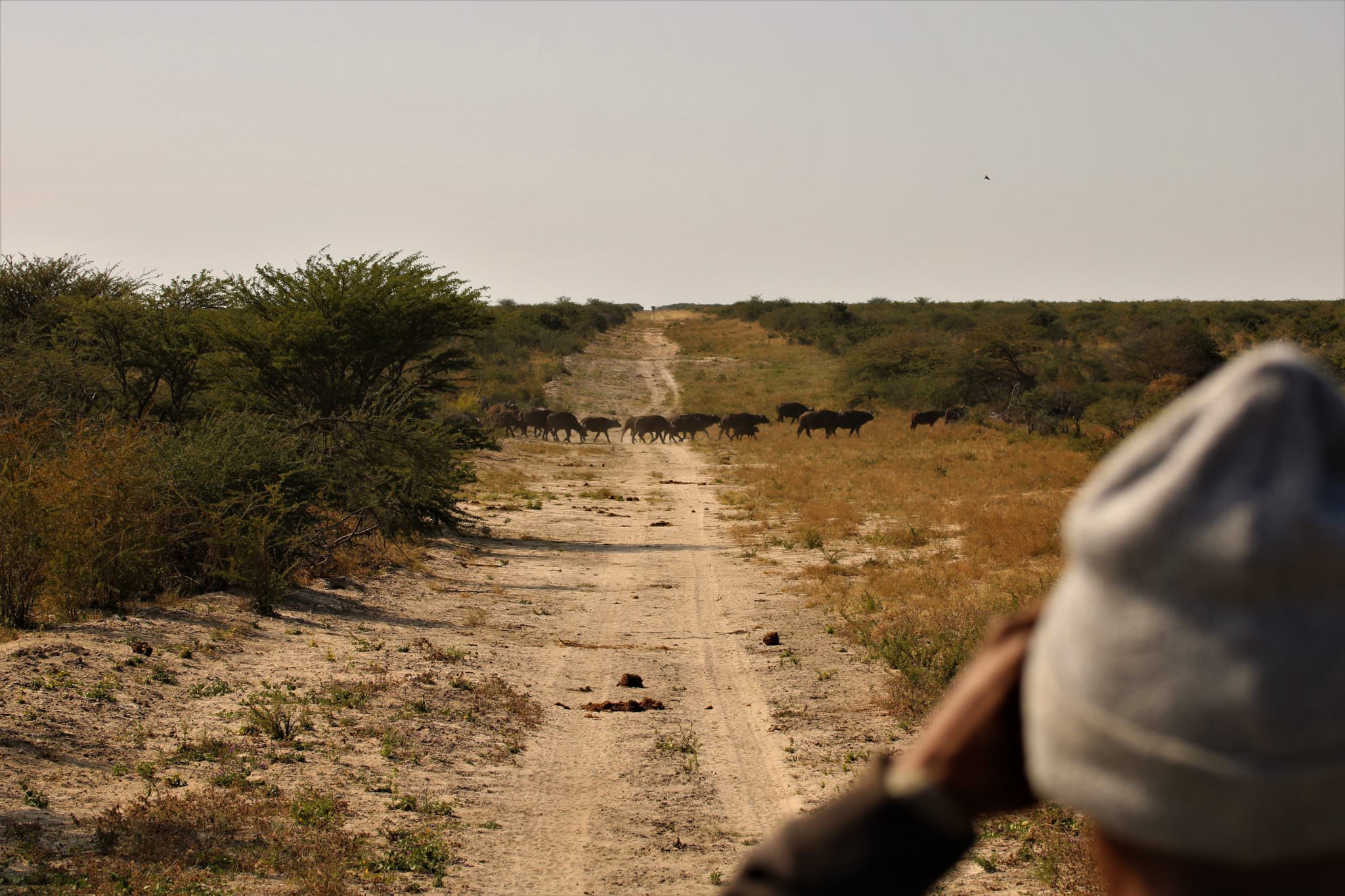 A man observing a herd of distant African buffalo as part of a spoor survey in Africa