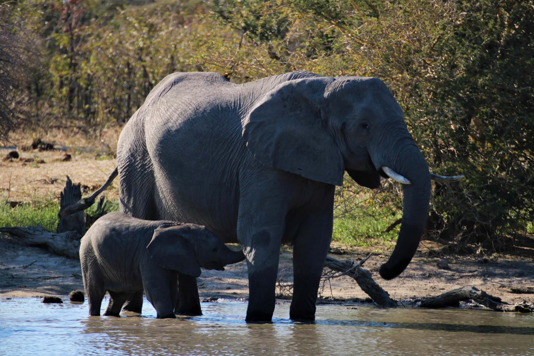 A female elephant and calf standing in a river in Botswana