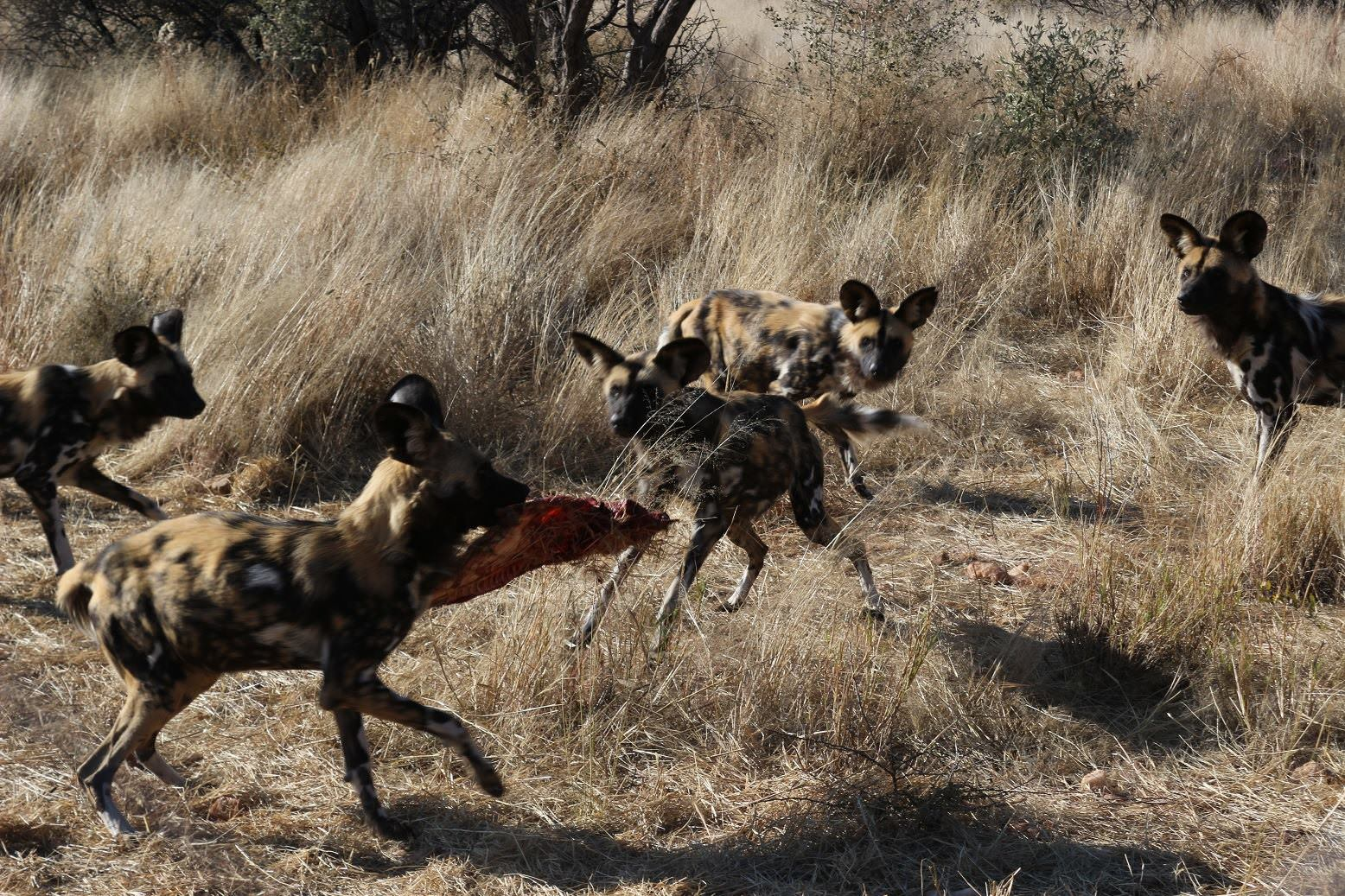 African wild dogs feeding at Mangetti