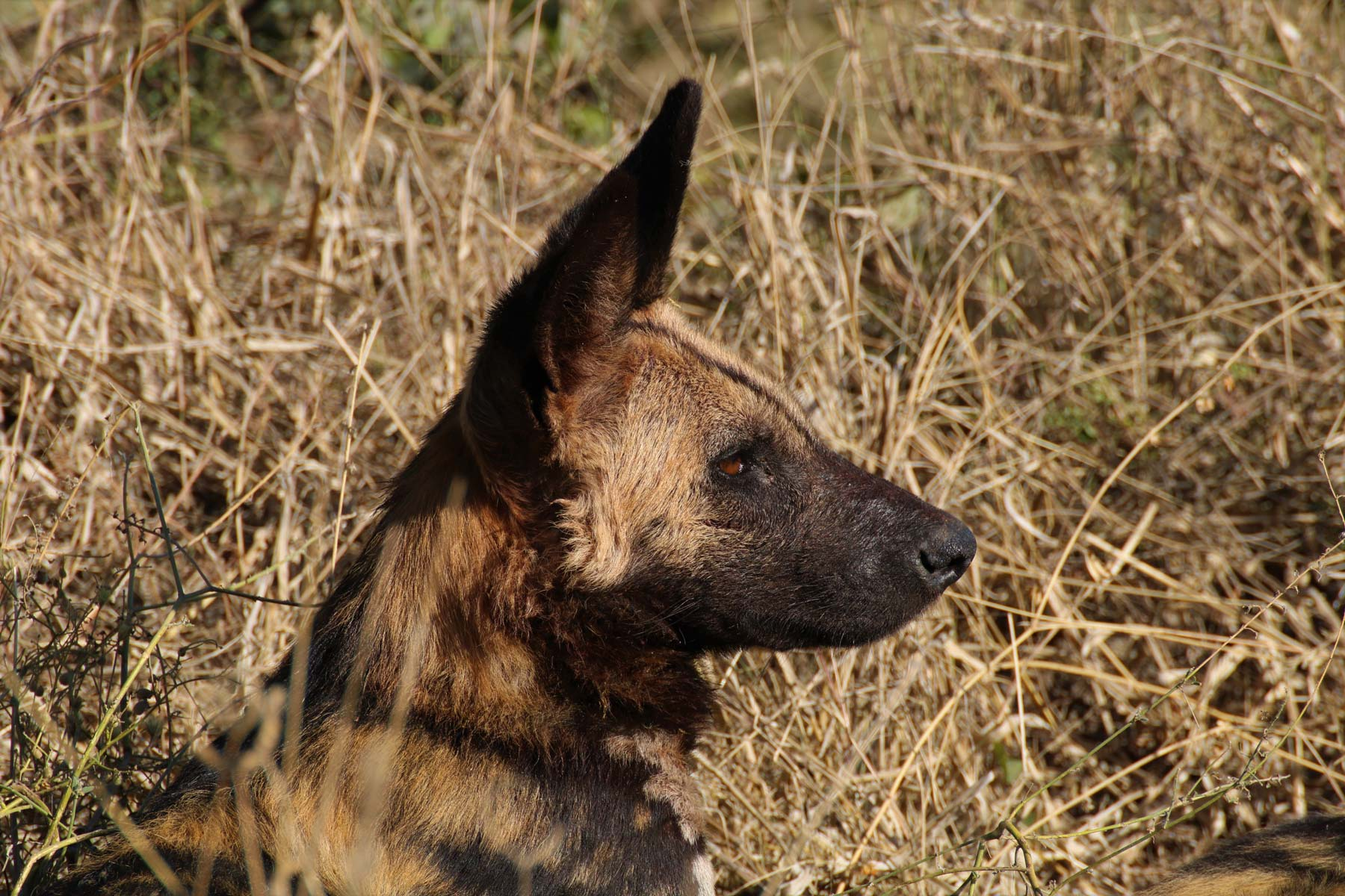A portrait of an African Wild Dog's face - lying in grass and looking into the distance
