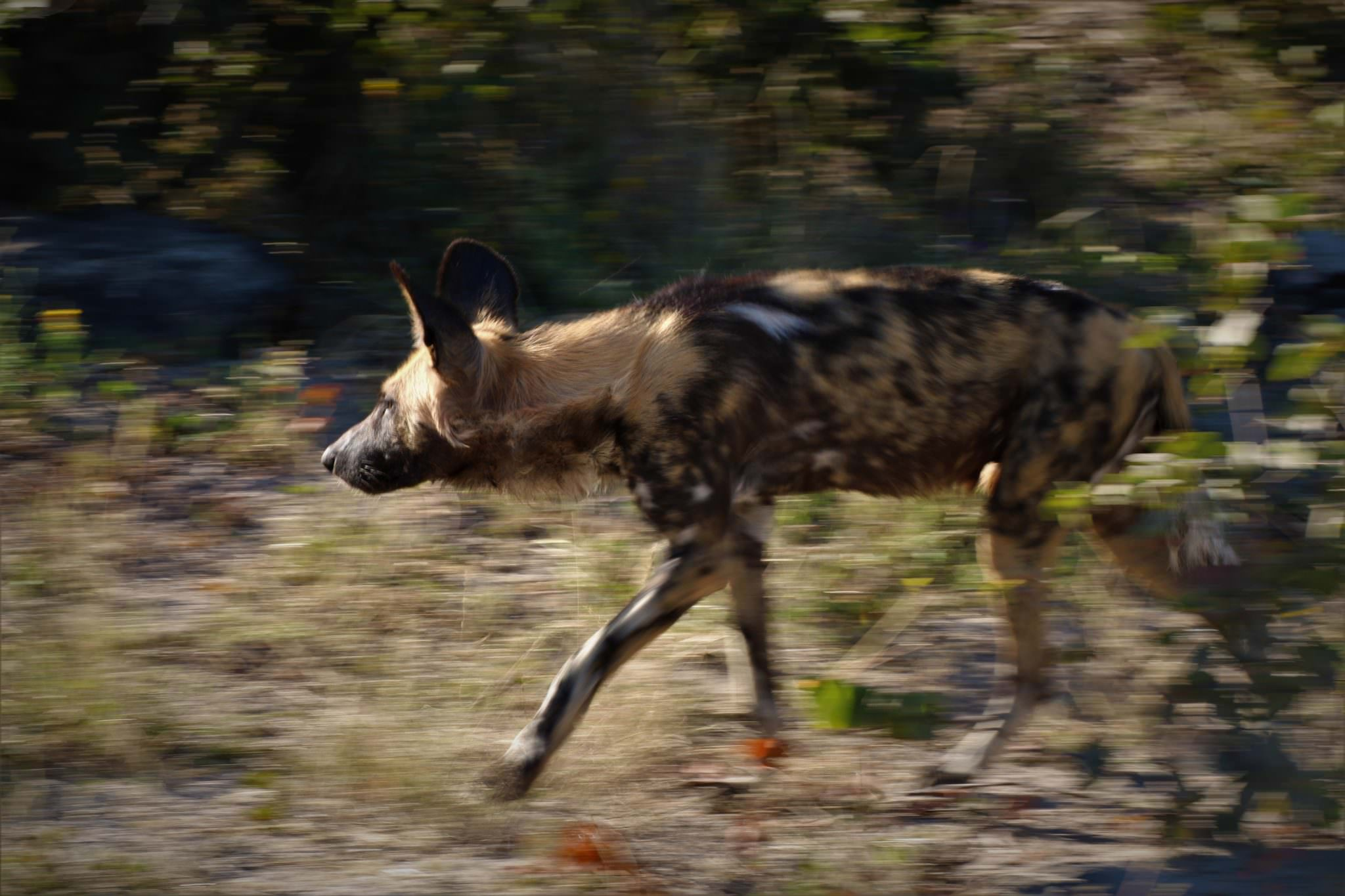 African wild dog in motion