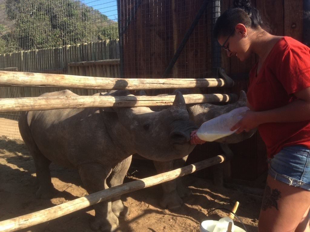 A student bottle feeding a baby rhino at Care for Wild Africa on an African Conservation Experience placement