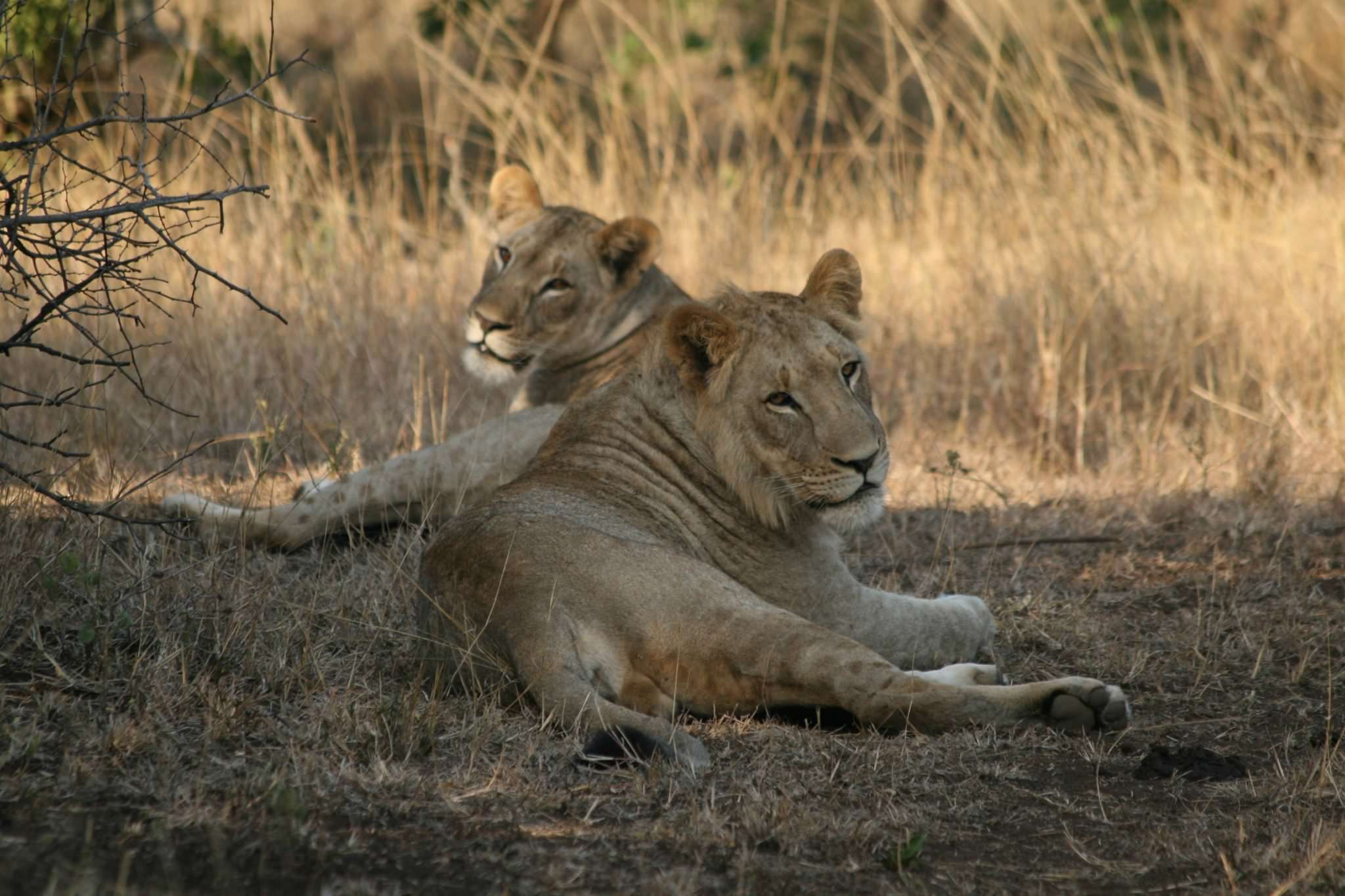 A lion and lioness laze around in late afternoon African sun