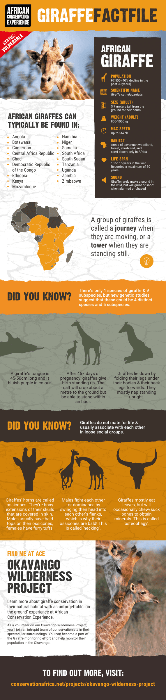 giraffe infographic including facts about body, habitat, behaviour and conservation status