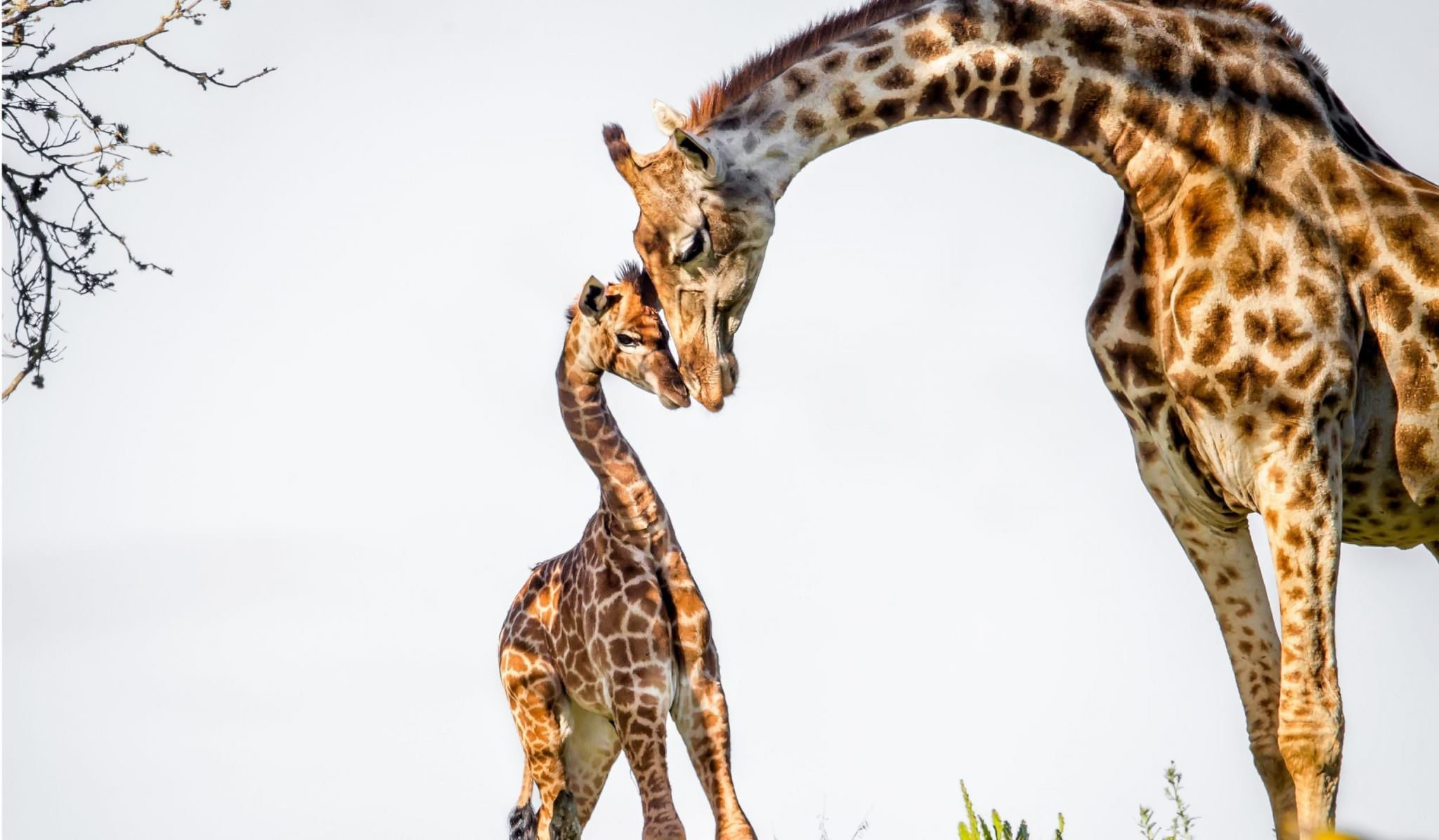 baby giraffe with mother with heads together