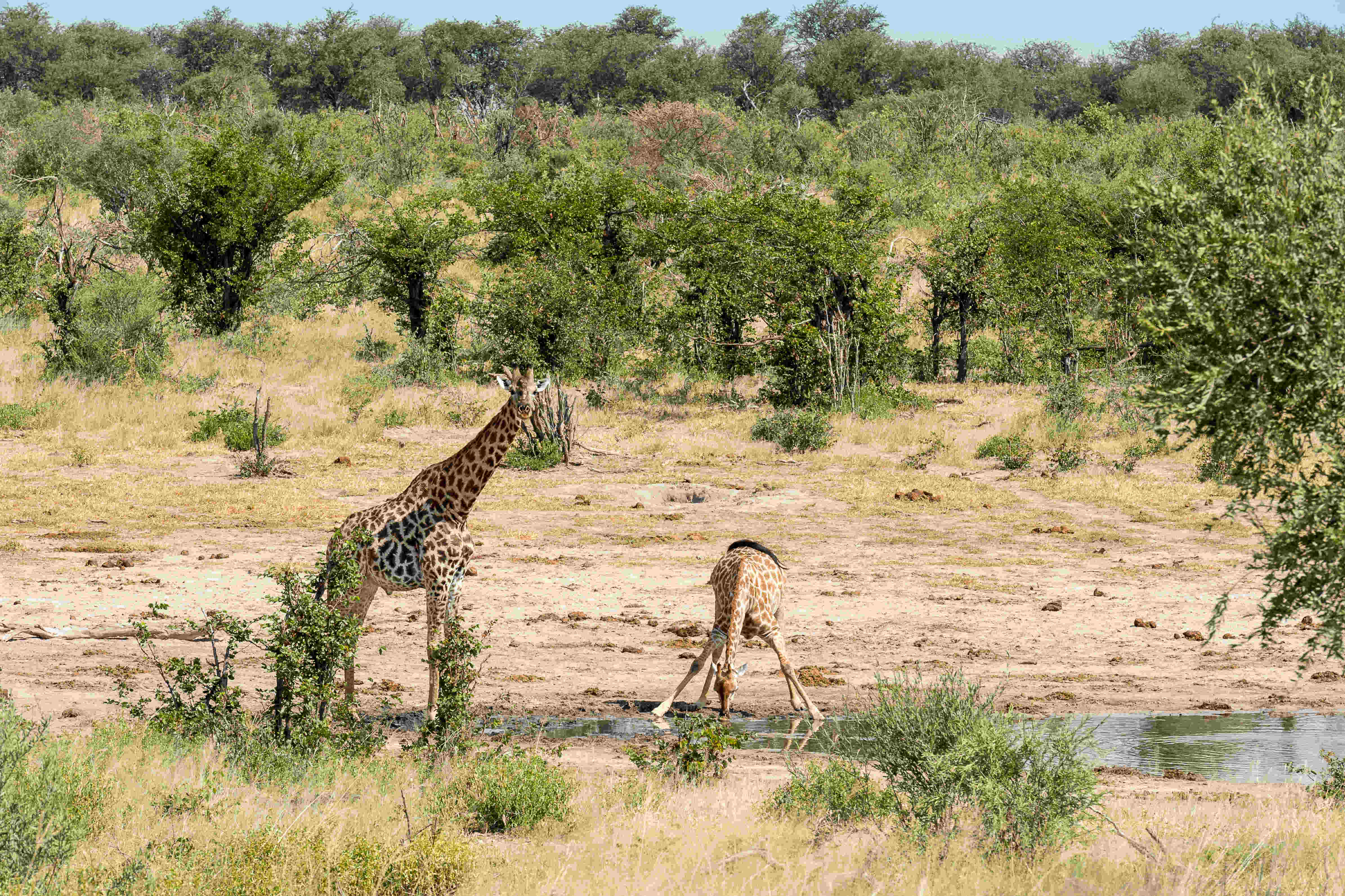 2 young giraffe in the African bush. One drinks from a river with its legs splayed and the other looks to the camera