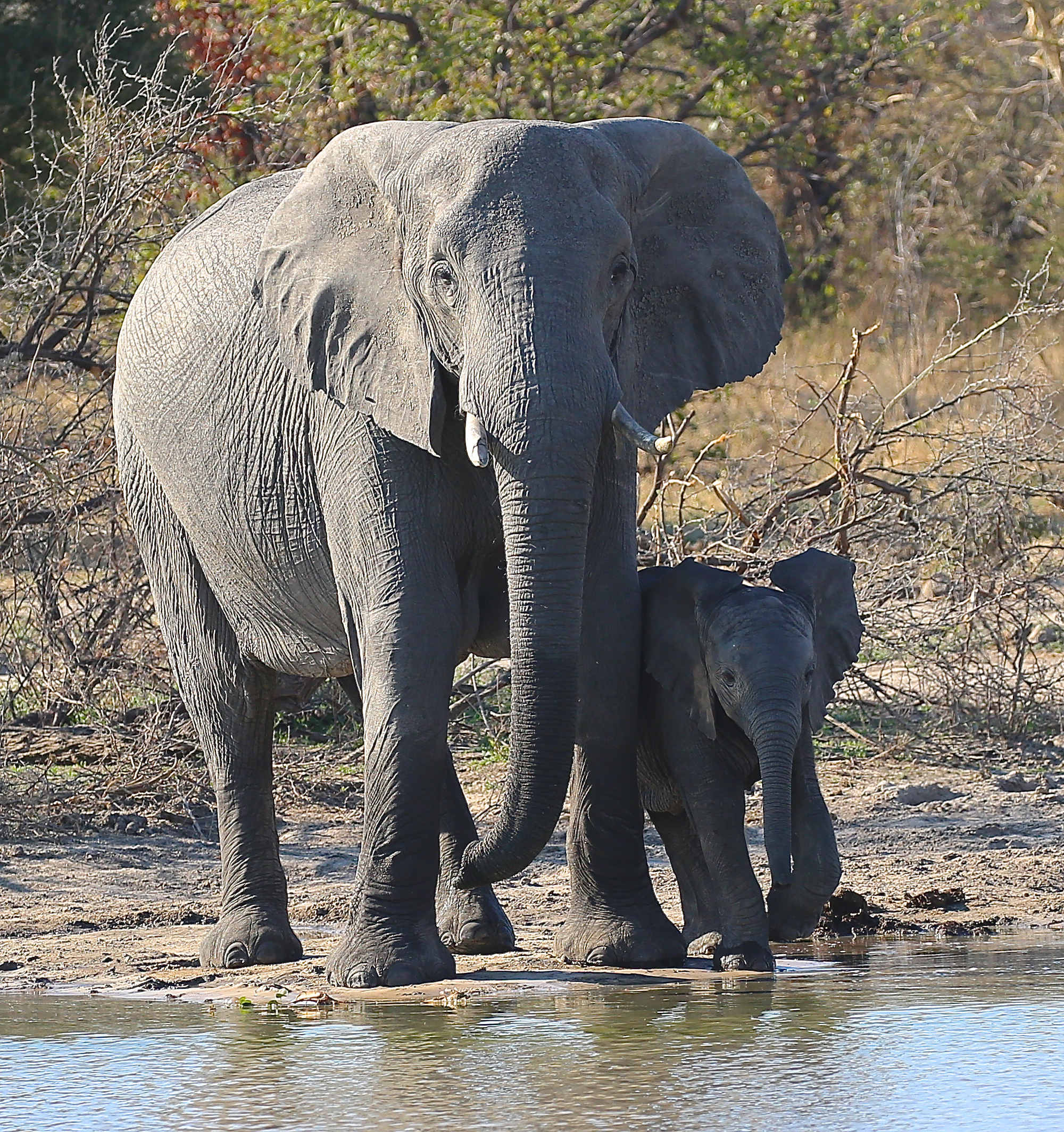 An adult African elephant and her calf at the waters edge