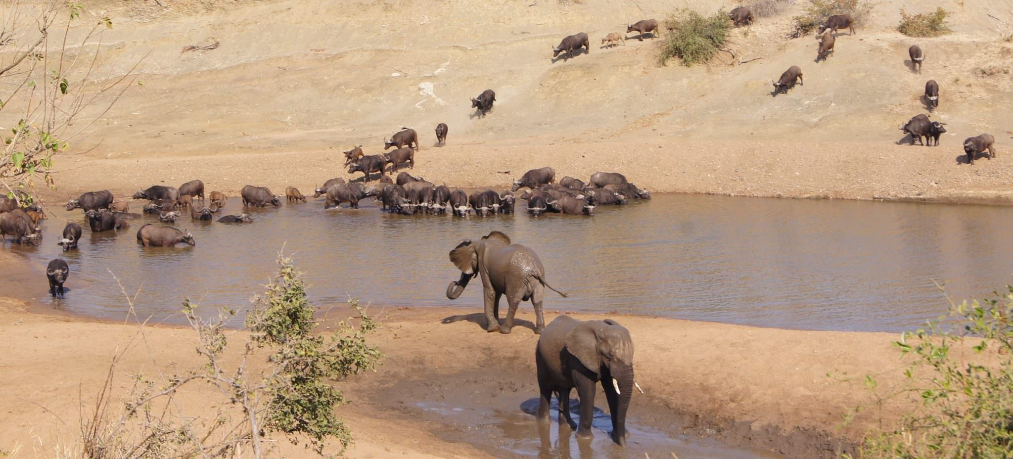 Herd of elephants and buffalo crossing a river